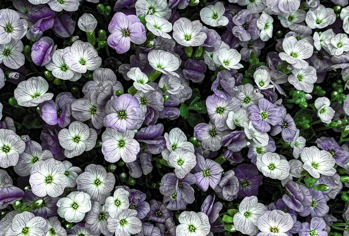 free Violet Spring Flowers texture