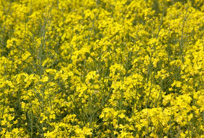 field canola nature