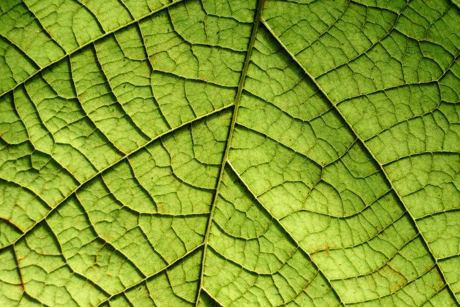 Closeup of a Leaf free texture