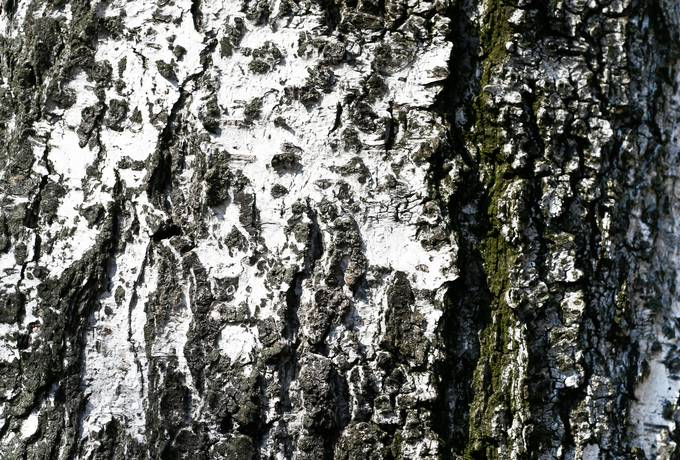 nature bark birch