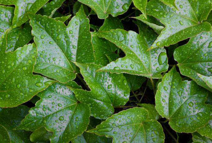 wet ivy leaves