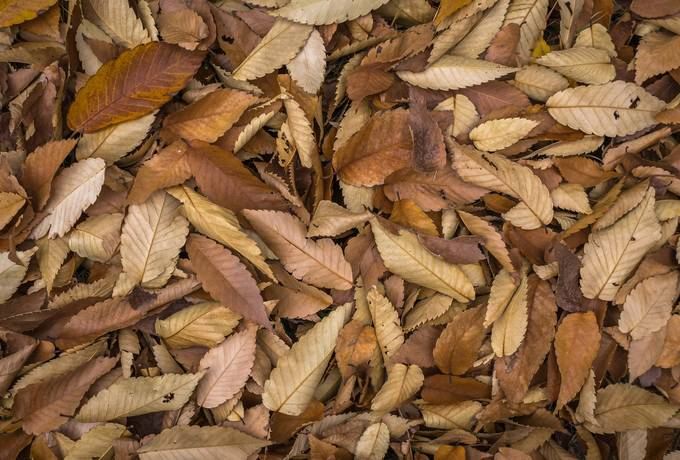 free Brown Beech Leaves texture