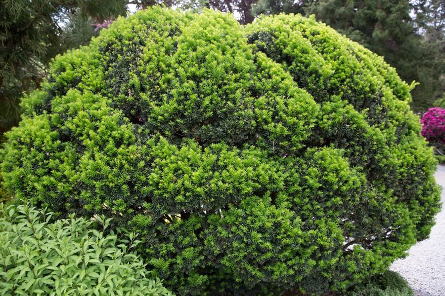 shrub yew green free texture