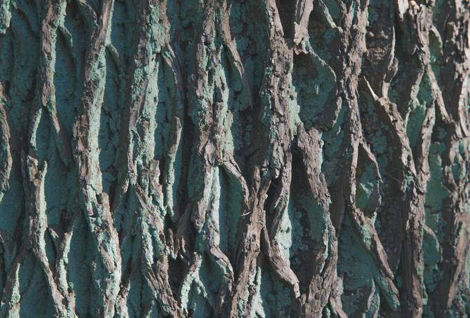 free Tree Bark with Lichens texture