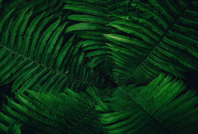 free Fern Leaves texture