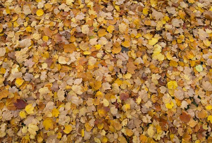 free yellow maple leaves texture