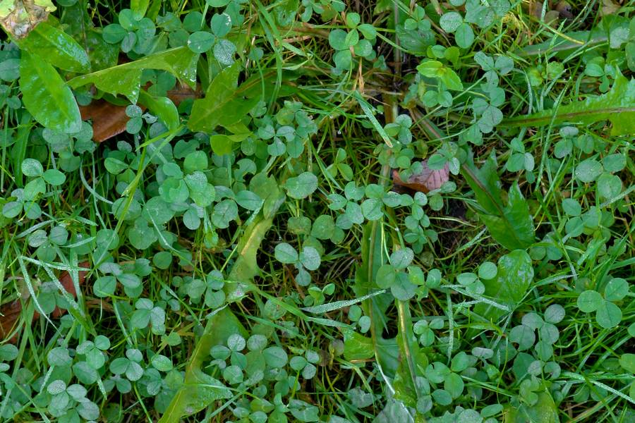 clover weed nature free texture