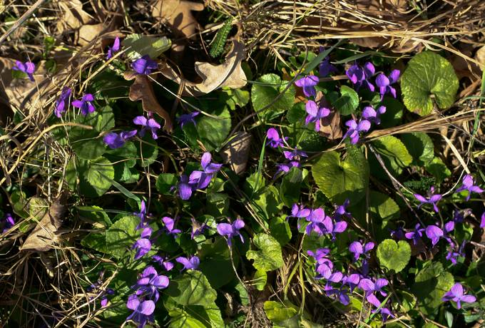 nature flowers violet