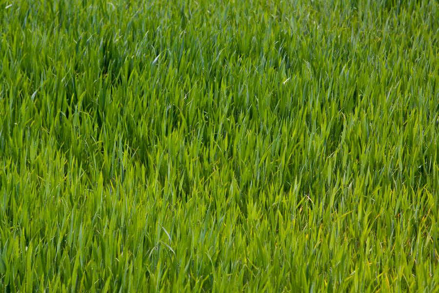 young green field free texture