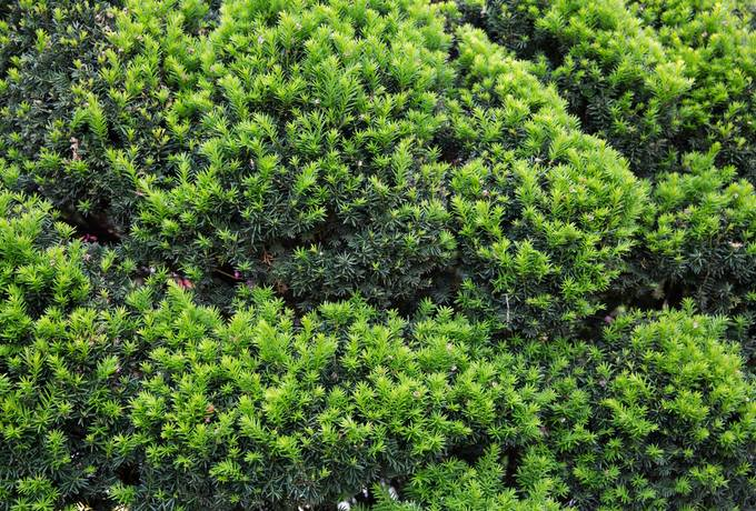 free yew growing shrub texture