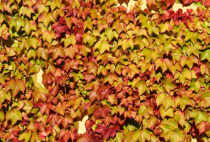 ivy autumn leaves