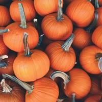 A Lot of Mini Pumpkins