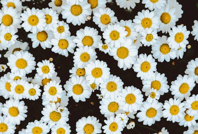 free White Camomile Flowers Top View texture