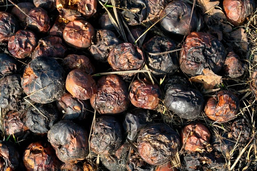 rotten food apple free texture