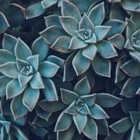 Succulent Cactus Close up