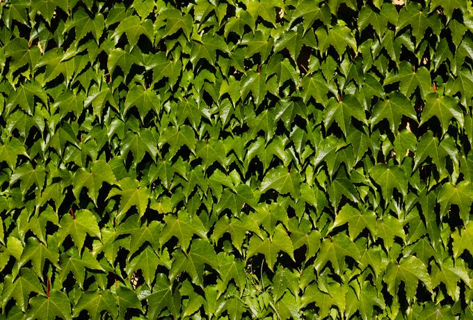 ivy leaves green