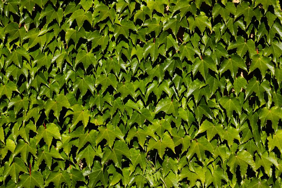 ivy leaves green free texture