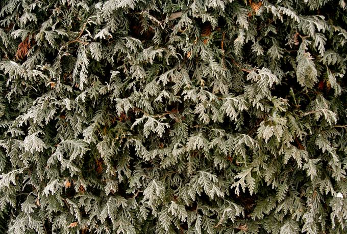 frozen winter thuja