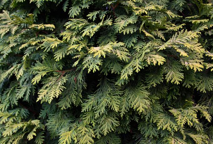 plant nature thuja