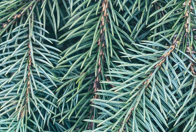 free Coniferous Branches texture