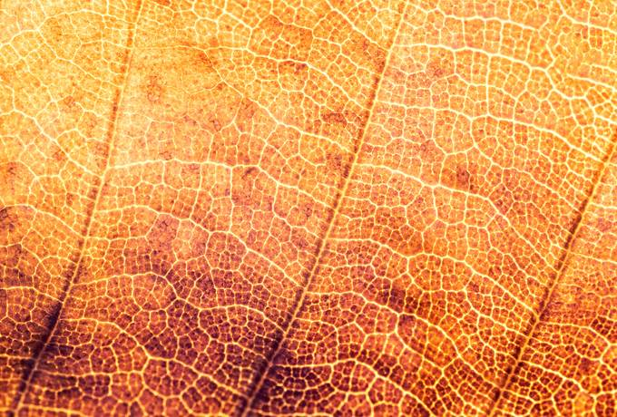 free Orange Autumn Leaf Macro texture