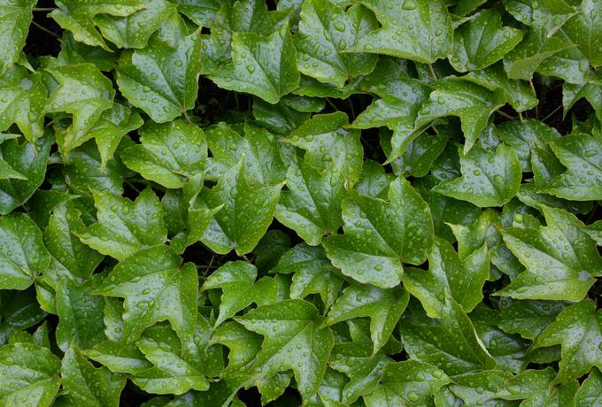 wet leaves ivy