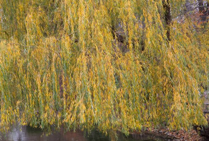 tree branches willow