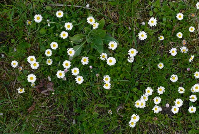 daisy nature grass