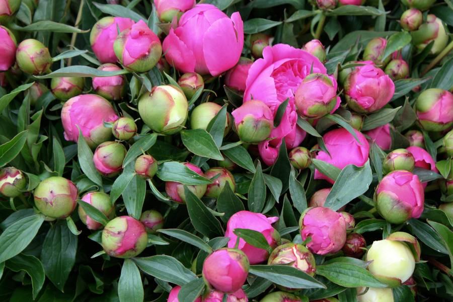 peony plant nature free texture