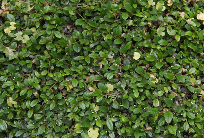 shrub nature evergreen
