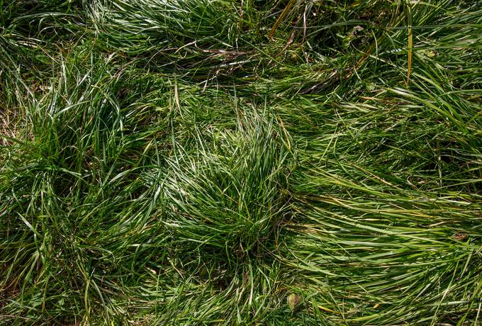 free Unmown Grass top View texture