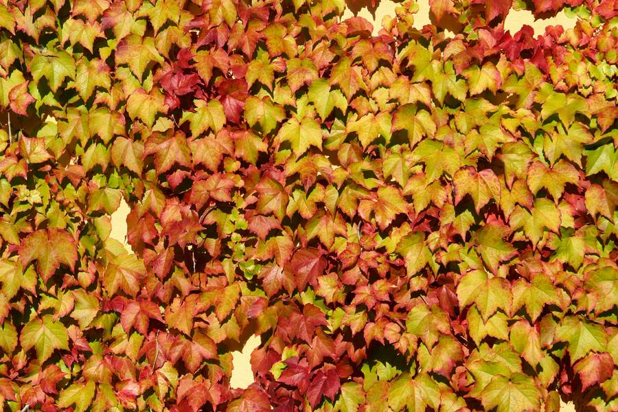 ivy autumn leaves free texture