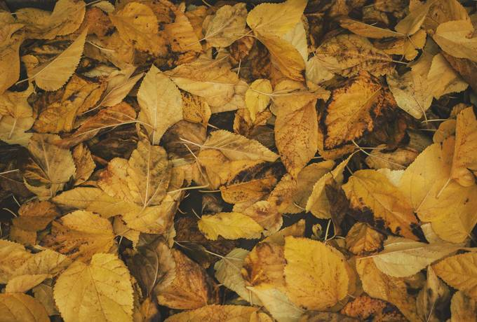 free Yellow Autumn Leaves texture