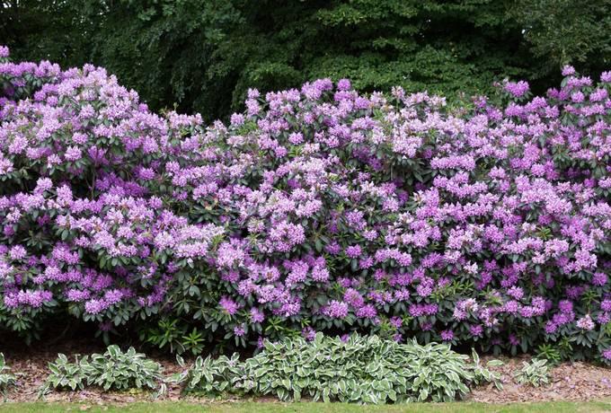 rhododendron shrub garden