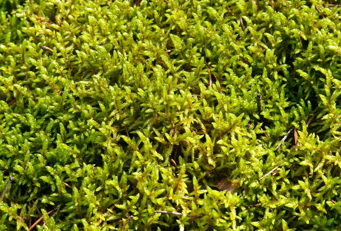 moss closeup nature