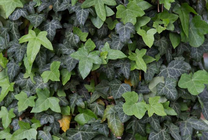 evergreen hedera helix creeper
