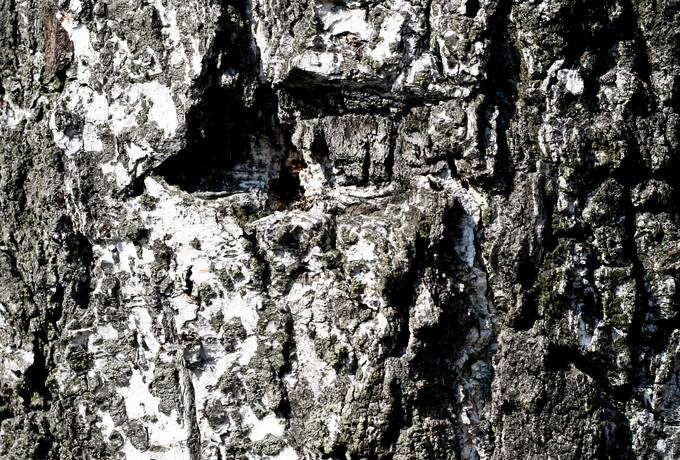 free birch bark rough texture