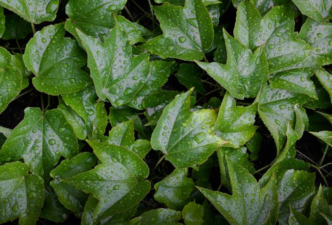 free ivy wet plant texture