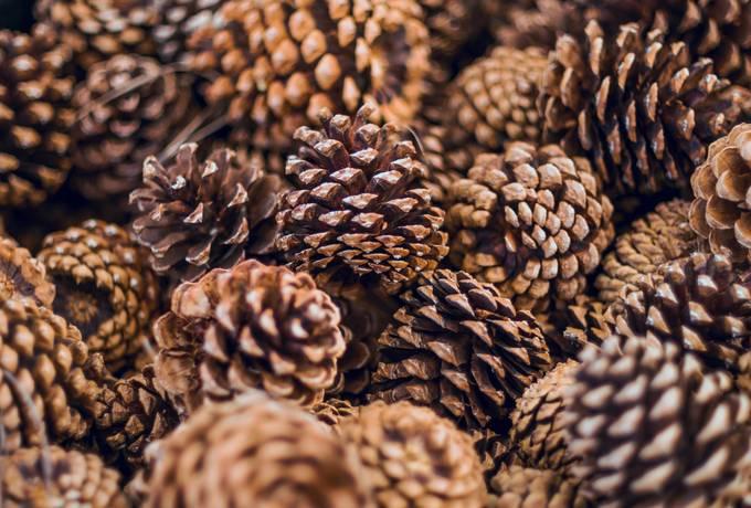 free Pine Cones texture