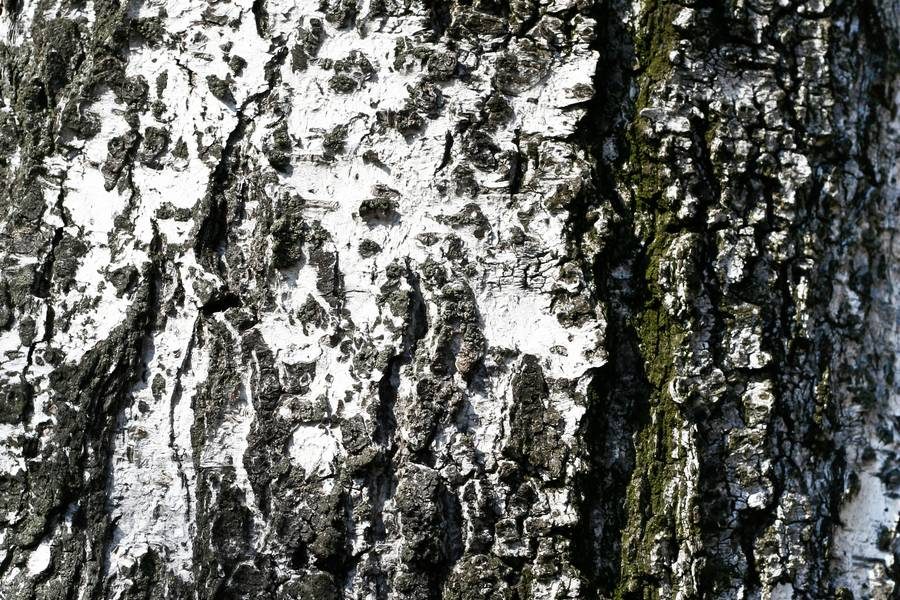 nature bark birch free texture