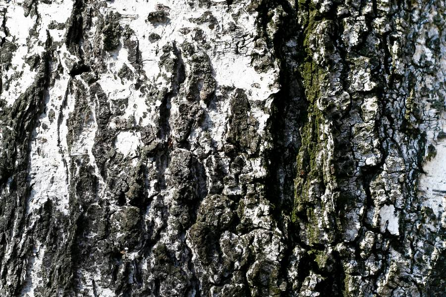 wood birch cracked free texture