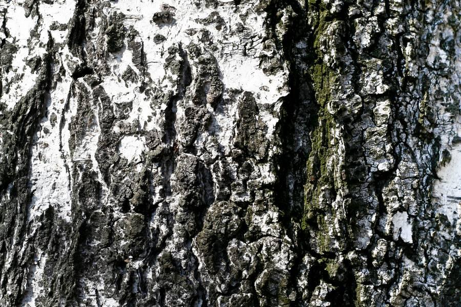 wood birch cracked free texture