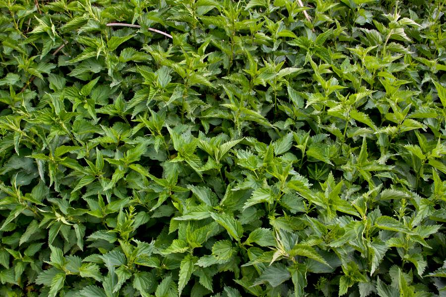 nettle plant nature free texture