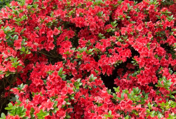 red azalea nature