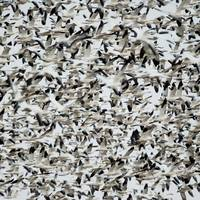 Thousands of Birds in the Sky
