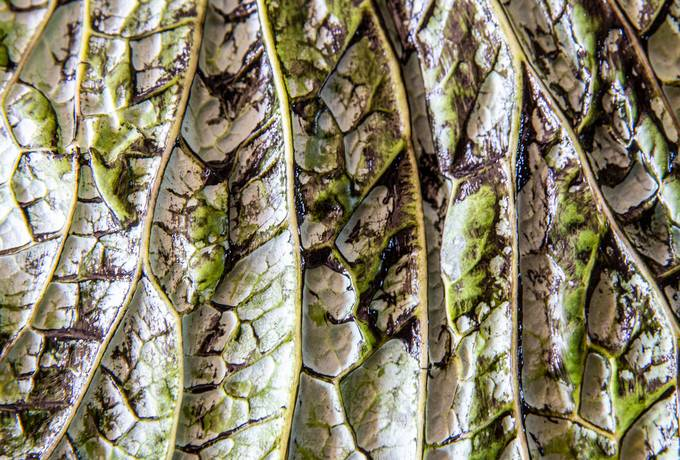 free Cabbage Leaf texture