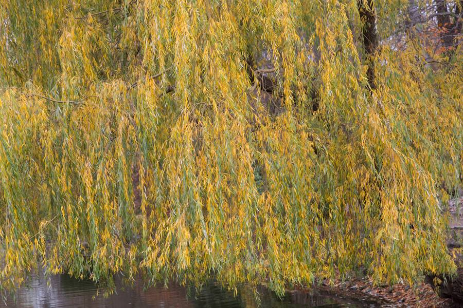 tree branches willow free texture