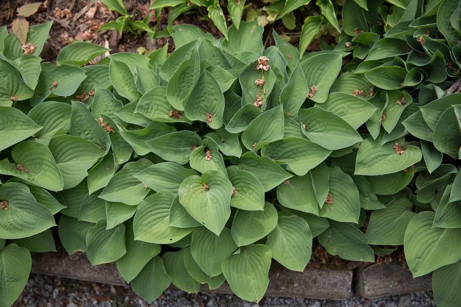 funkia hosta garden free texture
