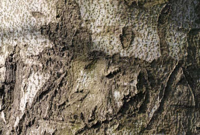 bark beech nature