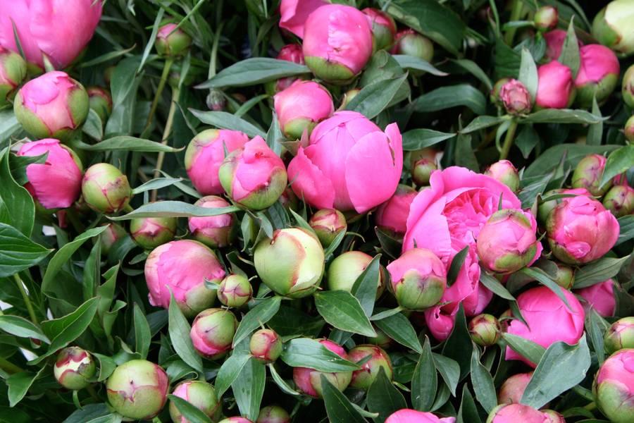 bud flowers peony free texture
